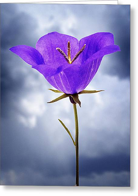 Balloon Flower Greeting Cards - Balloon Flower Greeting Card by Donald  Erickson