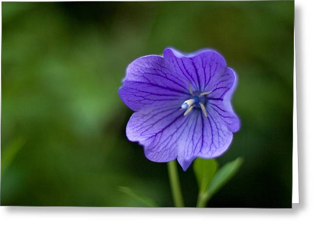 Japanese Bellflower Greeting Cards - Balloon Flower Greeting Card by Michael Russell