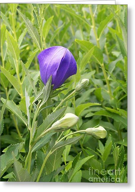 Platycodon Greeting Cards - Balloon Flower Ready to Launch Greeting Card by Laurie Eve Loftin