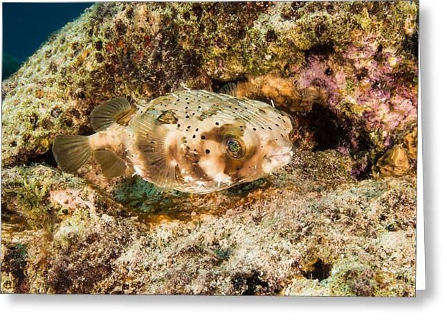Balloonfish, Bonaire Greeting Card by Andrew J. Martinez