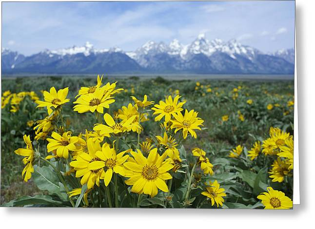 Aster Greeting Cards - Balsamroot Sunflower Patch Grand Teton Greeting Card by Tim Fitzharris