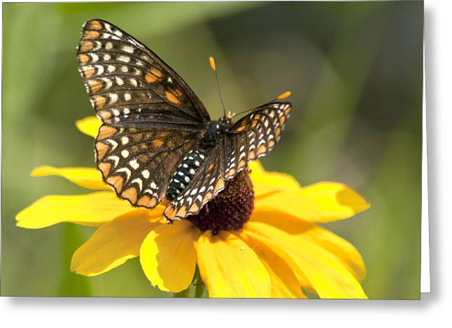 Checkerspot Greeting Cards - Baltimore Checkerspot and black-eyed Susan Greeting Card by Kathryn Whitaker
