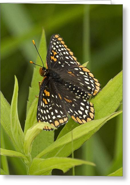 Checkerspot Greeting Cards - Baltimore Checkerspot Butterfly 2 Greeting Card by Eric Mace