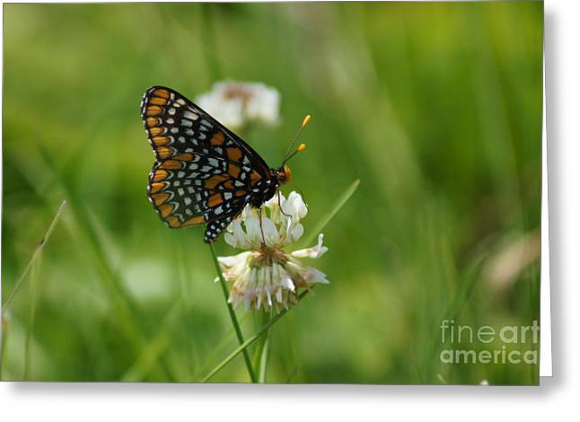 Checkerspot Greeting Cards - Baltimore Checkerspot butterfly Greeting Card by Dawn Puliafico