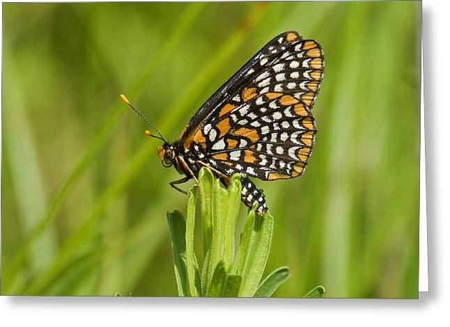 Baltimore Checkerspot Butterfly Greeting Card by Eric Mace