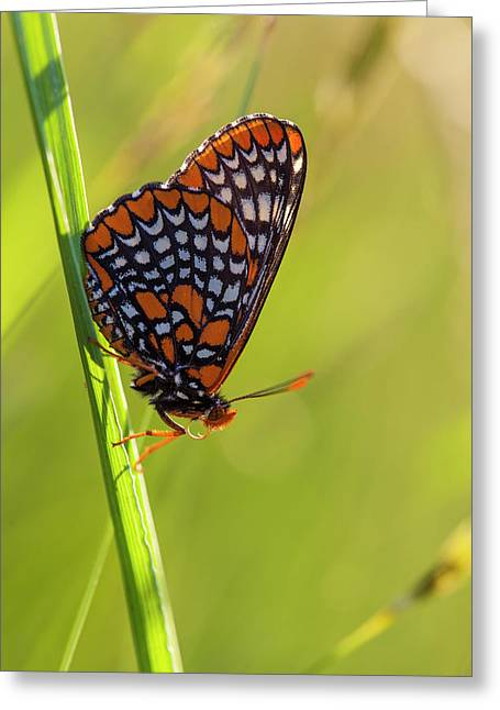 Baltimore Checkerspot Butterfly Greeting Card by Jerry and Marcy Monkman