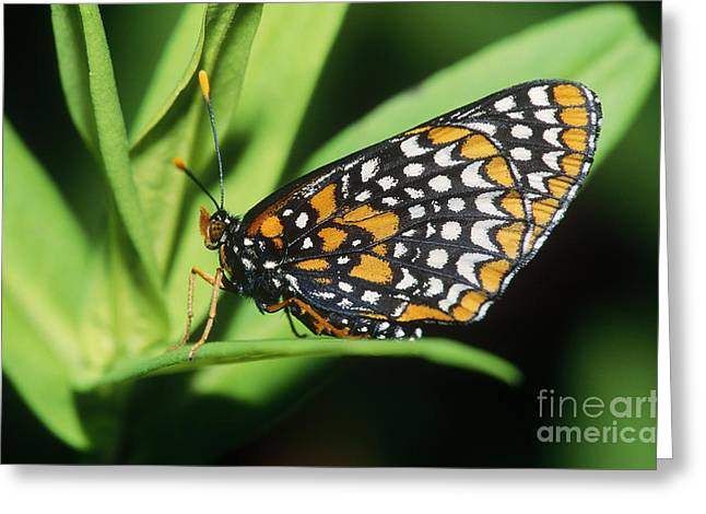 Baltimore Checkerspot Butterfly Greeting Card by Larry West