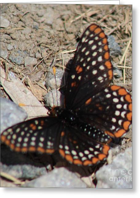 Checkerspot Greeting Cards - Baltimore Checkerspot Butterfly Greeting Card by Spirit Baker