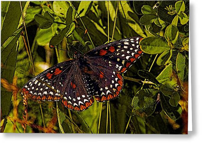Checkerspot Greeting Cards - Baltimore Checkerspot Greeting Card by Constantine Gregory