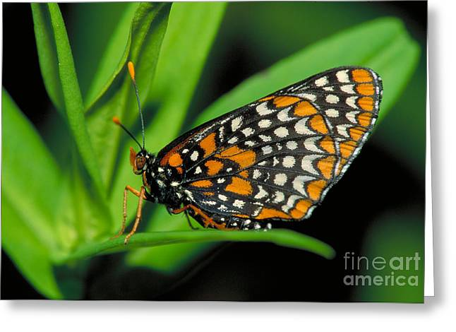 Checkerspot Greeting Cards - Baltimore Checkerspot Greeting Card by Larry West