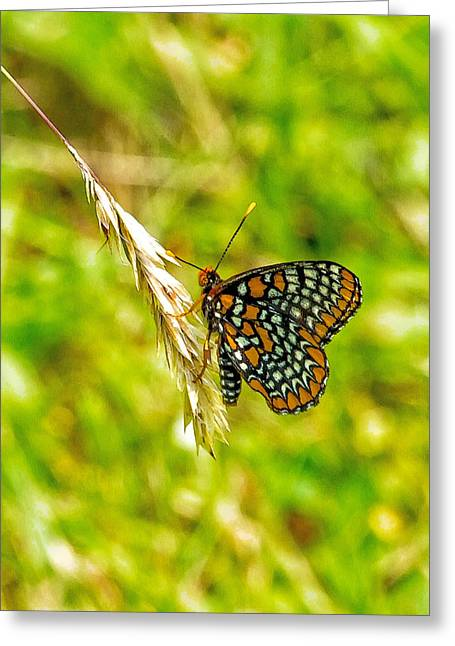 Checkerspot Greeting Cards - Baltimore Checkerspot on Meadow Grass Seed Head Greeting Card by Constantine Gregory