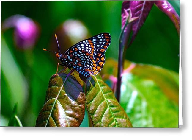 Checkerspot Greeting Cards - Baltimore Checkerspot On Poison Ivy Greeting Card by Constantine Gregory