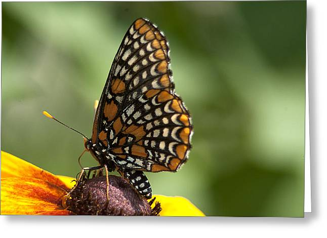 Checkerspot Greeting Cards - Baltimore Checkerspot on Rudbeckia Greeting Card by Kathryn Whitaker