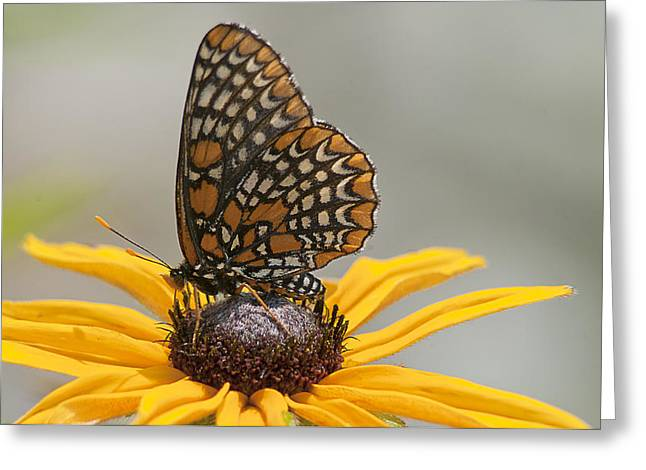 Checkerspot Greeting Cards - Baltimore Checkerspot with Black-Eyed Susan Greeting Card by Kathryn Whitaker