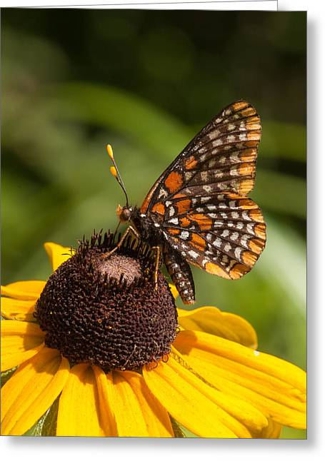 Checkerspot Greeting Cards - Baltimore Greeting Card by Gerald DeBoer