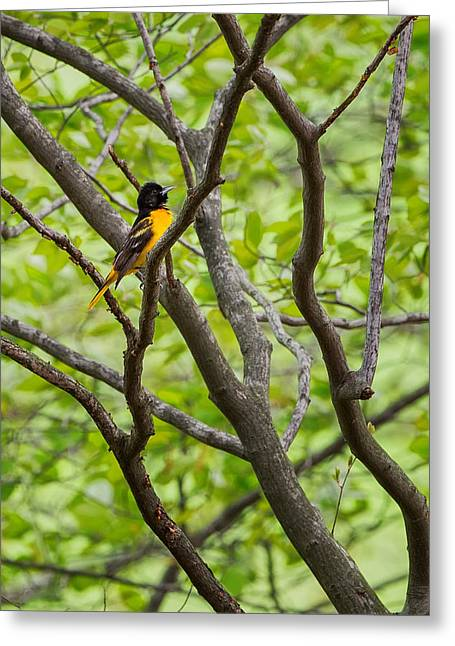 Oriole Greeting Cards - Baltimore Oriole Greeting Card by Bill  Wakeley