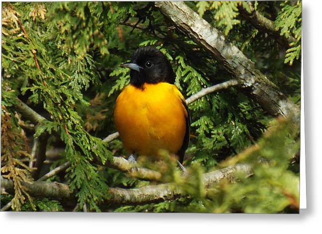 Orange And Brown Wings Greeting Cards - Baltimore Oriole Delight Greeting Card by Brenda Brown