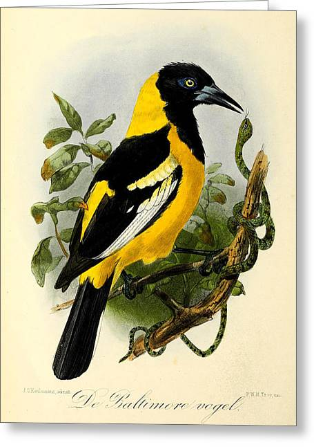 Baltimore Oriole Greeting Cards - Baltimore Oriole Greeting Card by J G Keulemans