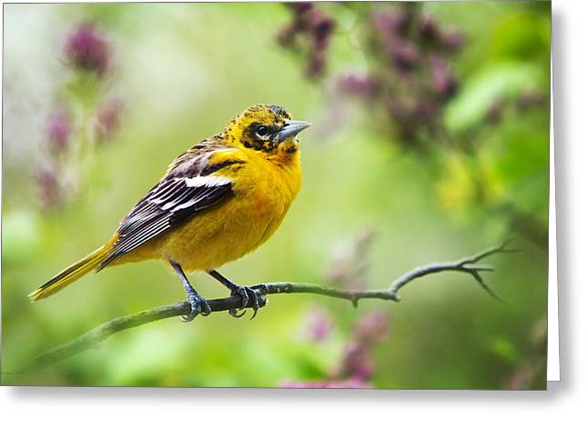Oriole Greeting Cards - Baltimore Oriole Juvenile Male Greeting Card by Christina Rollo