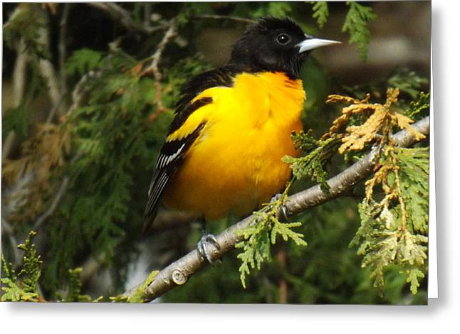Orange And Brown Wings Greeting Cards - Baltimore Oriole return to spring Greeting Card by Brenda Brown