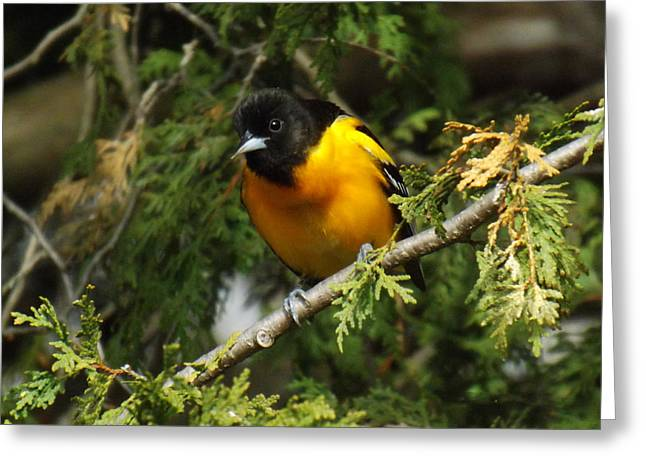 Orange And Brown Wings Greeting Cards - Baltimore Oriole Surprise Greeting Card by Brenda Brown