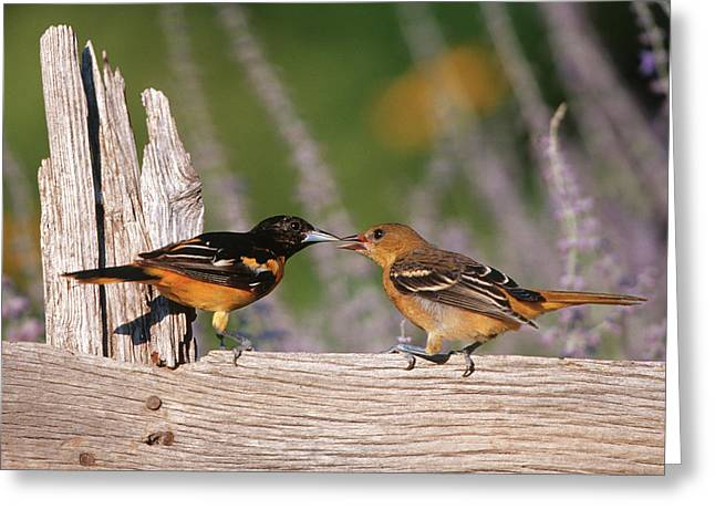 Baltimore Orioles (icterus Galbula Greeting Card by Richard and Susan Day