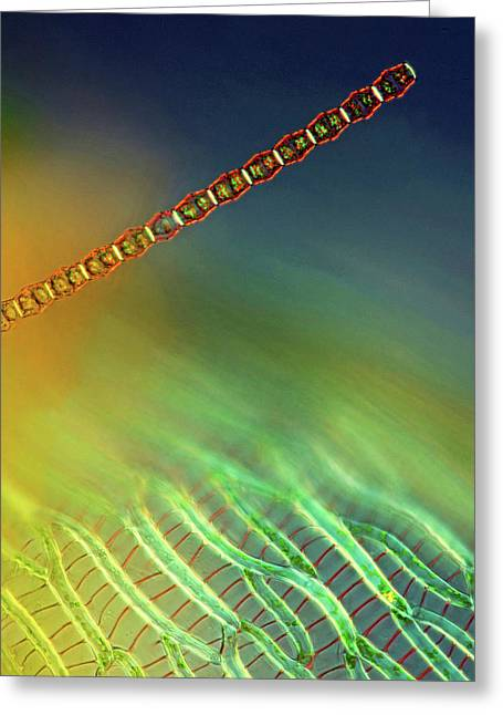 Bambusina Desmid Greeting Card by Marek Mis
