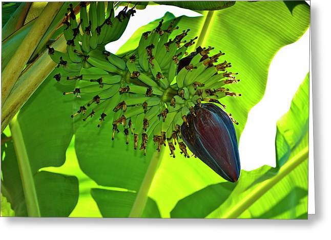 Banana Plants Greeting Cards - Banana Nut Greeting Card by Christi Kraft