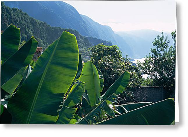 Azores Greeting Cards - Banana Trees In A Garden Greeting Card by Panoramic Images