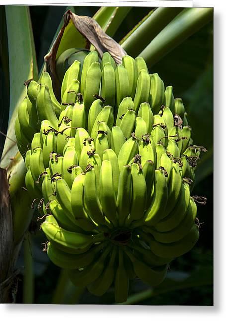 Banana Tree Greeting Cards - Bananas on a Banana tree Greeting Card by Chris Flees
