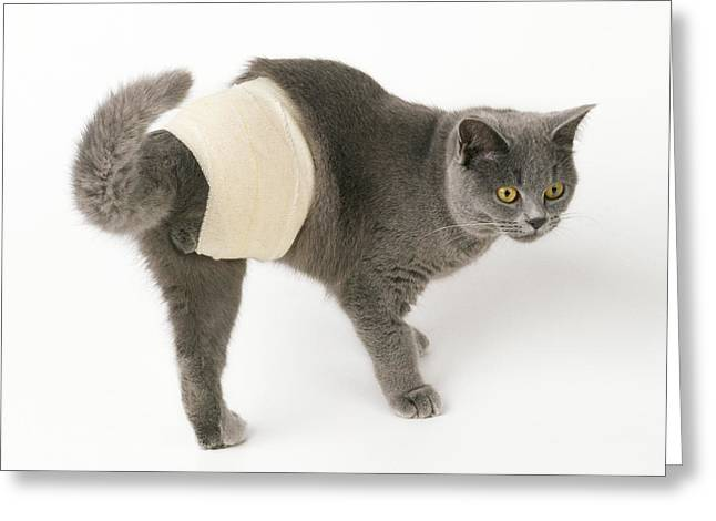 Bandaged Cat Greeting Card by John Daniels