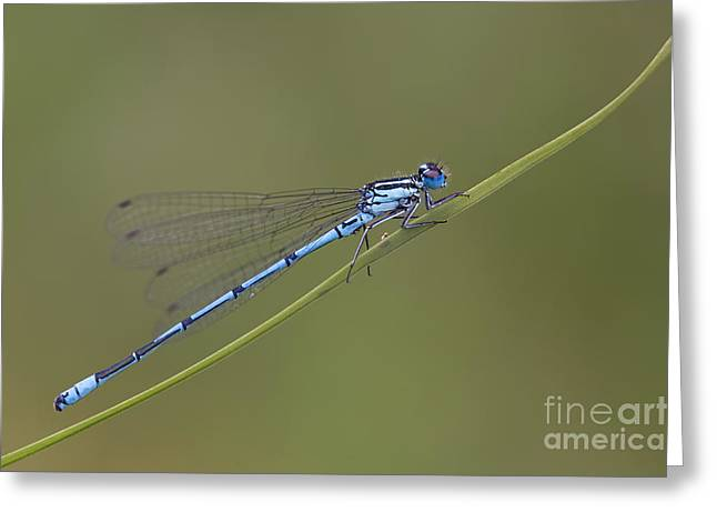 Recently Sold -  - Demoiselles Greeting Cards - Banded Agrion Damselfly Greeting Card by Frank Derer