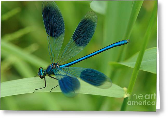 Demoiselles Greeting Cards - Banded Demoiselle Greeting Card by Brothers Beerens