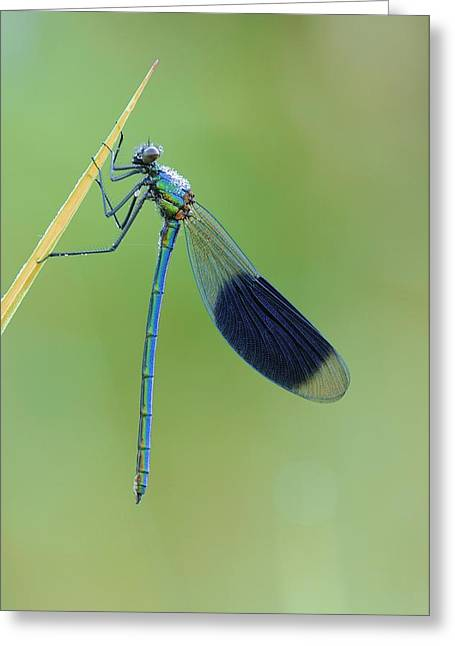 Demoiselles Greeting Cards - Banded demoiselle damselfly Greeting Card by Science Photo Library