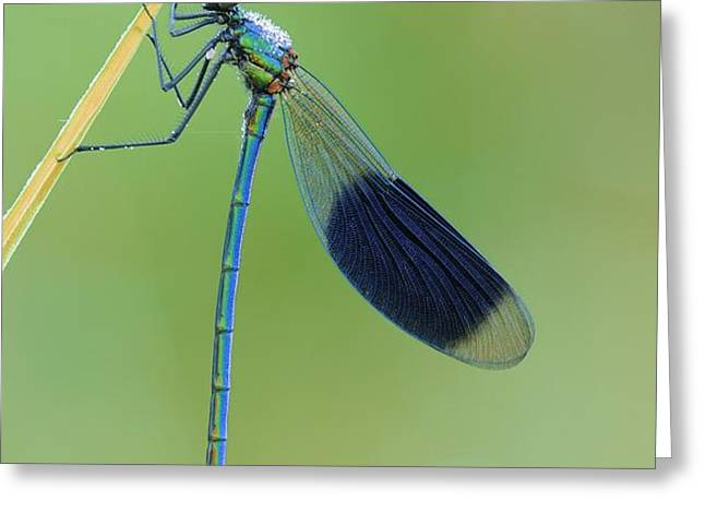Banded demoiselle damselfly Greeting Card by Science Photo Library