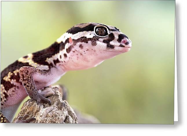 Banded Gecko Greeting Card by Nicolas Reusens