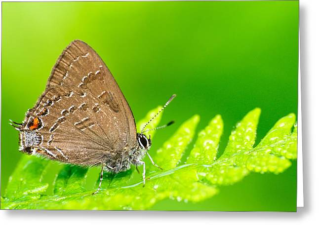 Banded Hairstreak Butterfly Greeting Card by Photography  By Sai