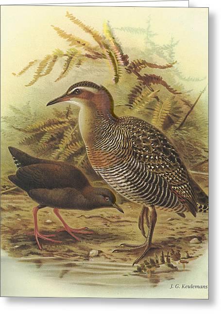 Audubon Greeting Cards - Banded Rail and Spotless Crake Greeting Card by J G Keulemans