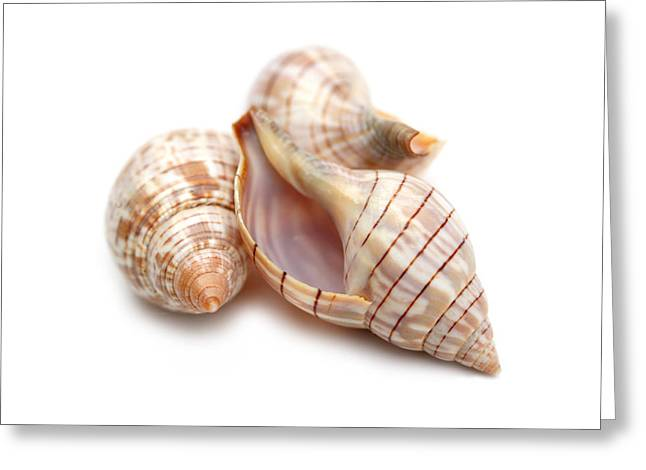 Beachcombing Greeting Cards - Banded Tulip Seashells Macro Greeting Card by Jennie Marie Schell