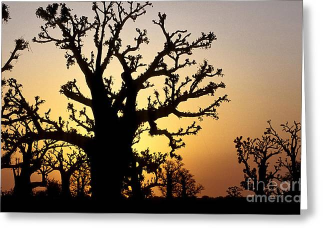 Senegal Greeting Cards - Bandia Baobabs Forest, Senegal Greeting Card by Adam Sylvester