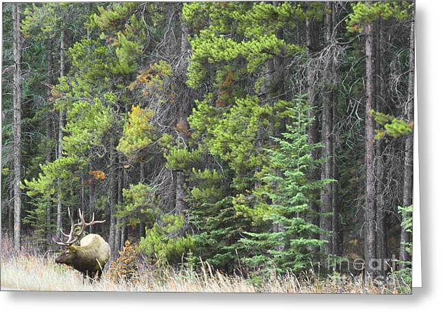 Log Cabins Framed Prints Greeting Cards - Banff Spring Elk Greeting Card by Andrea Hazel Ihlefeld