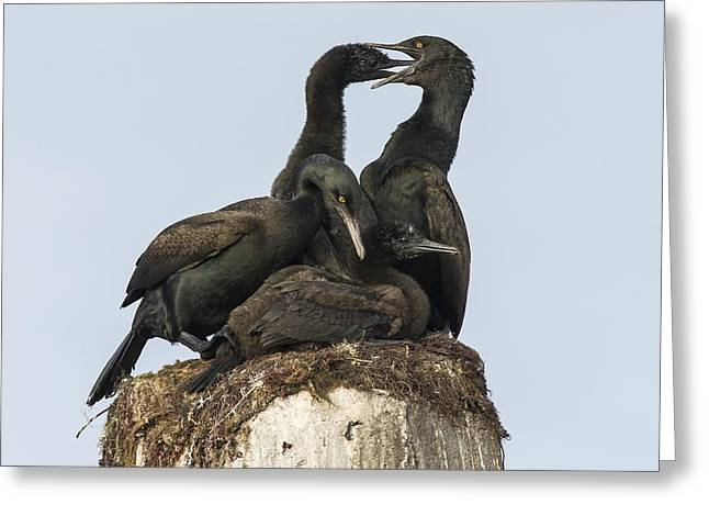 Quartet Greeting Cards - Bank cormorants feeding their chicks Greeting Card by Science Photo Library