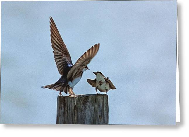 Matting Greeting Cards - Bank Swallow Romance Greeting Card by John Harmon
