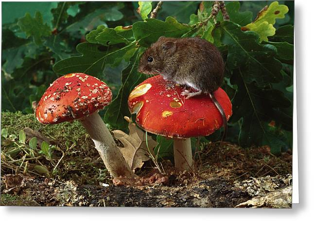 Forest Floor Greeting Cards - Bank Vole on Mushroom Greeting Card by Derek Middleton