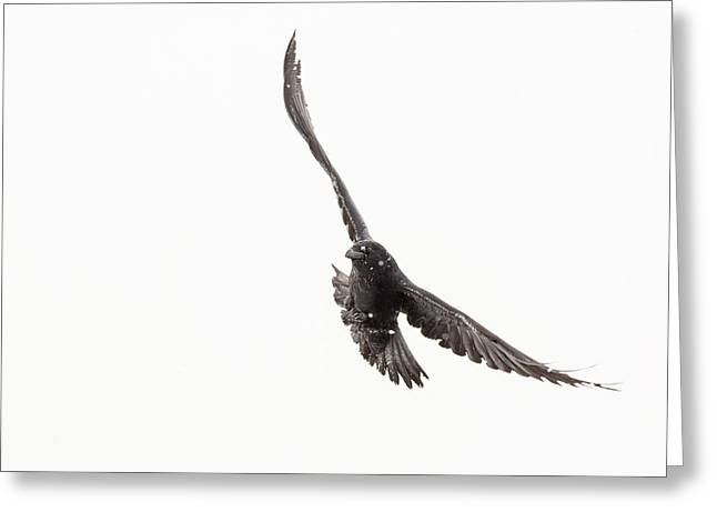 Corvus Corax Greeting Cards - Banking Left Greeting Card by Tim Grams