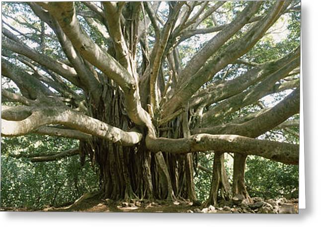 Strength Photographs Greeting Cards - Banyan Tree Stretches In All Greeting Card by Panoramic Images
