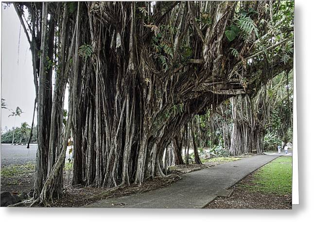 Dripping Vines Greeting Cards - BANYAN TREE WALK in HILO HAWAII Greeting Card by Daniel Hagerman