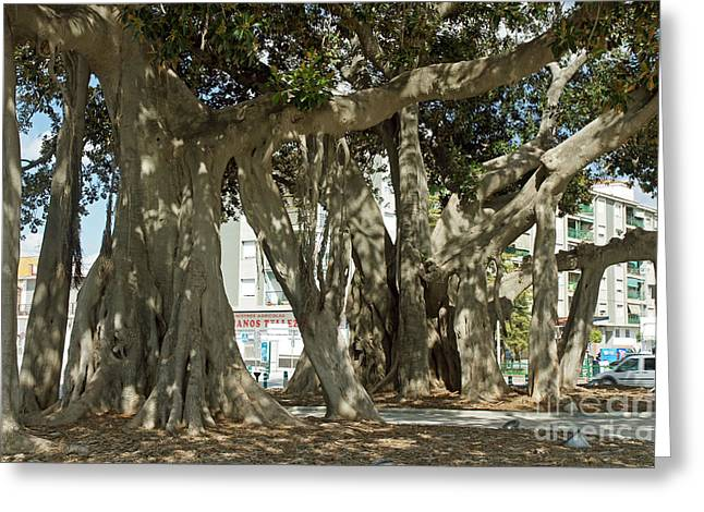 Banian Greeting Cards - Banyan trees 2 Greeting Card by Rod Jones