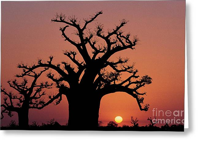 Senegal Greeting Cards - Baobab Tree Against Red Sky Greeting Card by Adam Sylvester