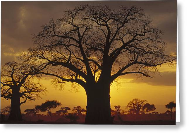 Gerry Greeting Cards - Baobab Tree At Sunset Tanzania Greeting Card by Gerry Ellis